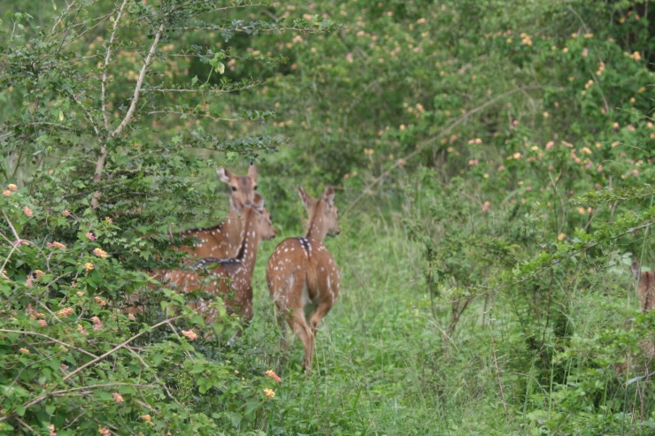 Spotted or Axis deer, Yala National Park, Sri Lanka