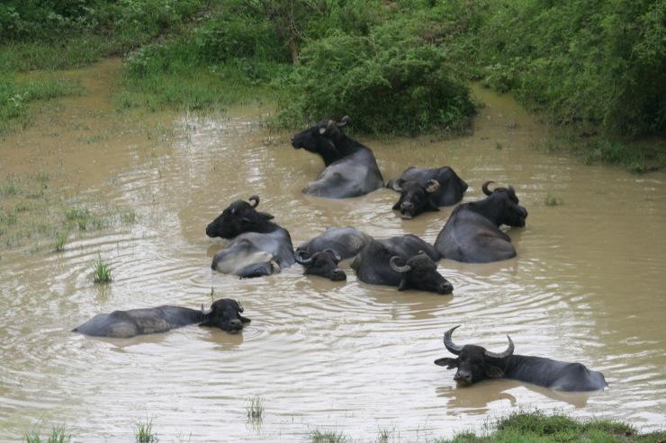 Wild buffalo, Yala National Park, Sri Lanka