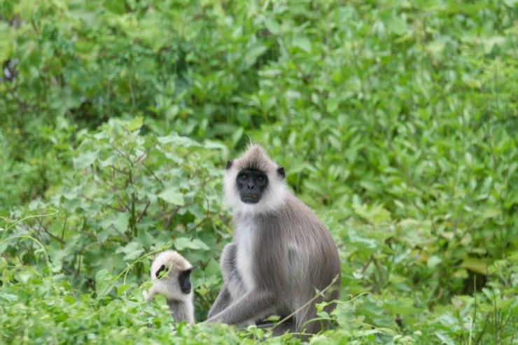 Langur monkeys, Yala National Park, Sri Lanka
