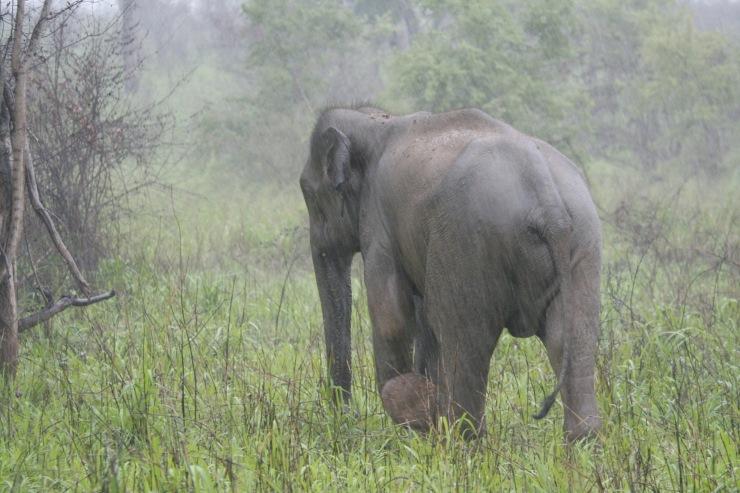 Elephants, Yala National Park, Sri Lanka